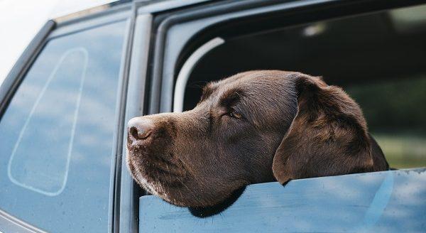 protection chien pour voiture
